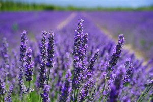 lavender-blossom-1595584__480